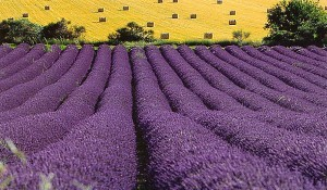 Lavender_fields-300x175