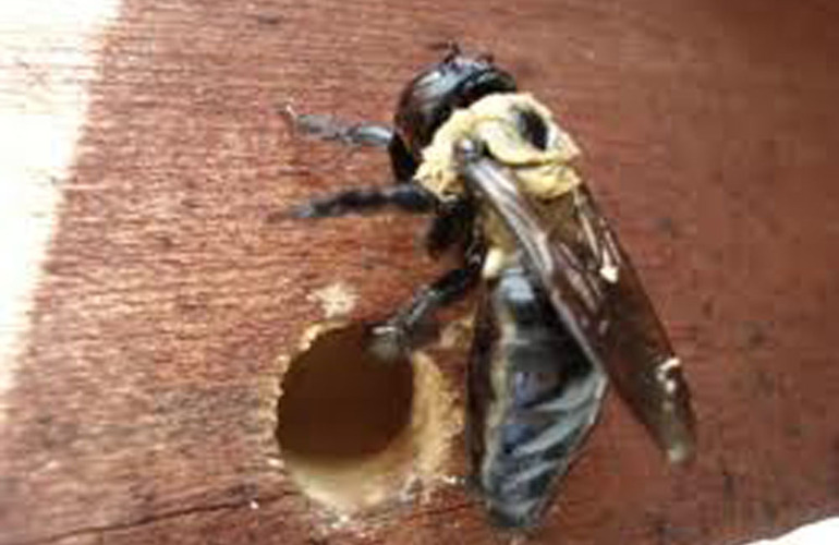 Carpenter-bee2