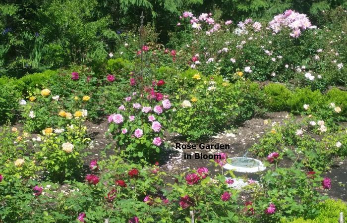 Rose_bloom