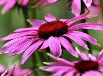 Echinacea-purpurea-magnus-blws306848