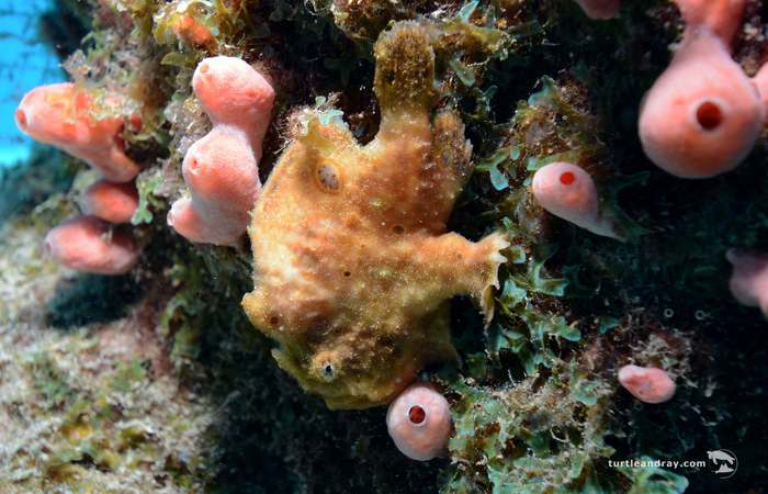 Frogfish_turtle_&_ray,_curacao