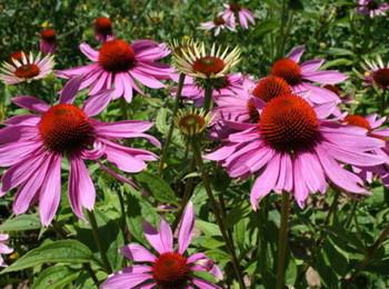 09i-echinacea-purpurea_20002_redimensionner